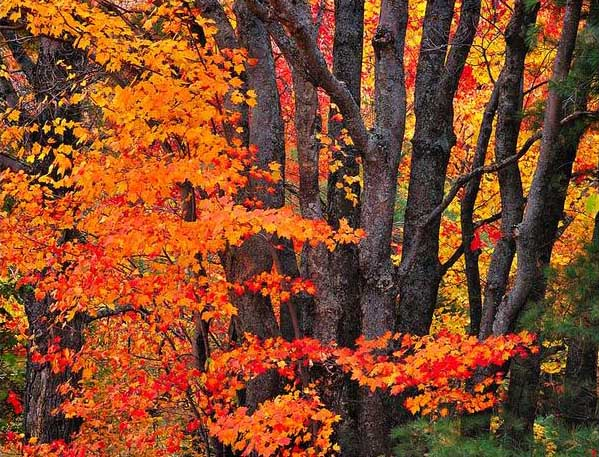 Maple Trees Showing their Fall Colors